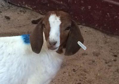 goat_orig